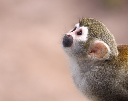 Squirrel Monkey Stock Photo - 10414500