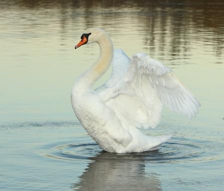 swan at dusk Stock Photo