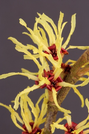 Hamamelis Stock Photo - 12899807