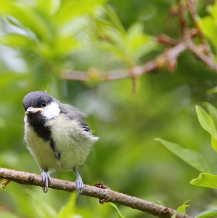 fledgling: Great tit fledgling