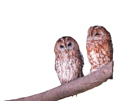 tawny: Tawny owls