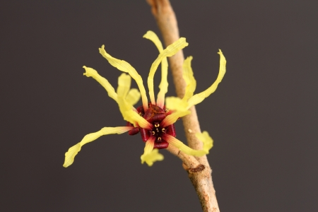 mollis: hamamelis mollis Stock Photo