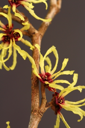 hamamelis mollis Stock Photo - 17776132