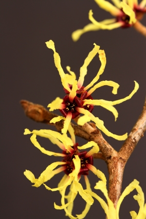 hamamelis mollis Stock Photo - 17776131