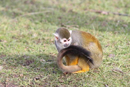 arboreal: squirrel monkey
