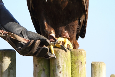 talons: Golden Eagle with falconer showing talons