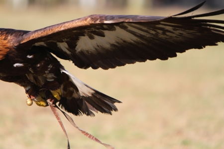 aguila real: Águila real