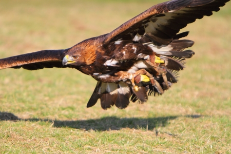 golden eagle: Golden Eagle im Flug