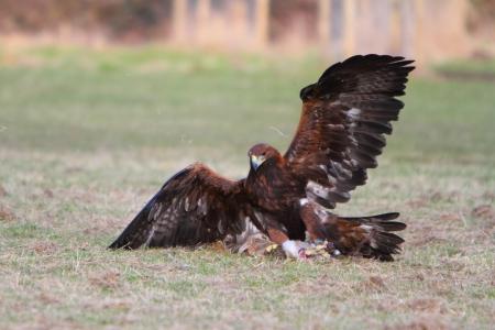 aigle royal: Golden Eagle de proie Banque d'images