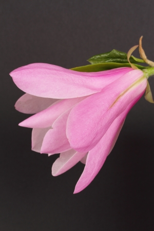 Magnolia liliiflora photo