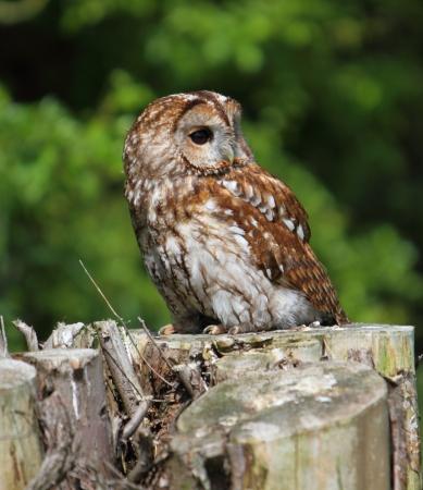 tawny: Tawny owl