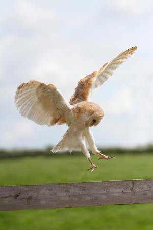 talons: Barn owl