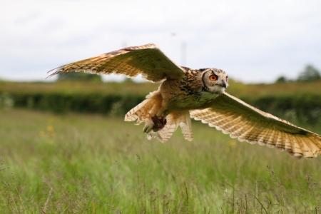 talons: Eagle owl in flight