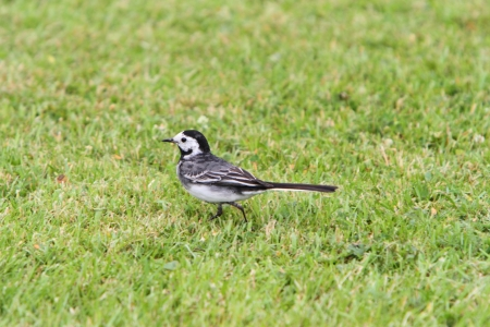 wagtail: Pied ballerina