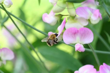 everlasting: Everlasting sweet pea and bee