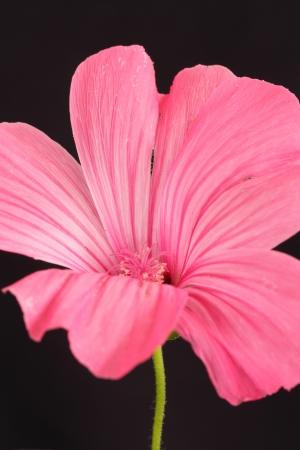 mallow: Pink Mallow Stock Photo