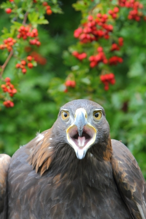 squawk: Golden eagle headshot