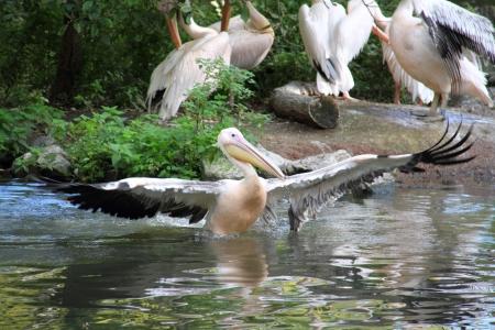 plummage: Pelican