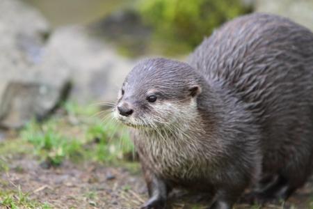 clawed: Short clawed otter (Aonyx cinerea)