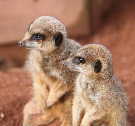 meerkat: Meerkat (suricata suricata)