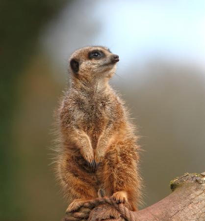 diurnal: Meerkat Sentry (Suricata suricata)