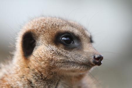 meerkat: Meerkat Sentry (Suricata suricata)