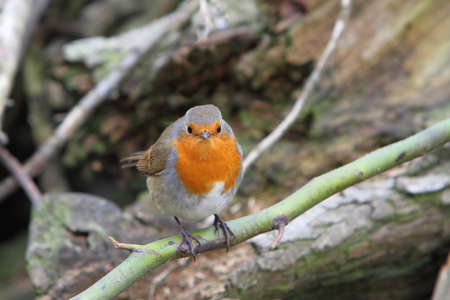 warble: European robin (Enthacus rubecula) Stock Photo