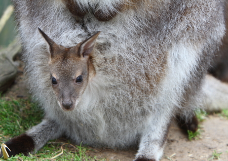 Wallaby joey photo