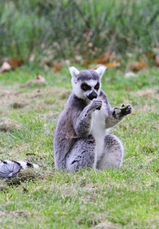ring tailed: Ring tailed lemur (Lemur catta) Stock Photo