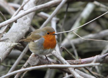 warble: European Robin