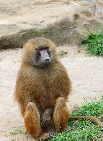 terrestrial mammal: Baboon Stock Photo