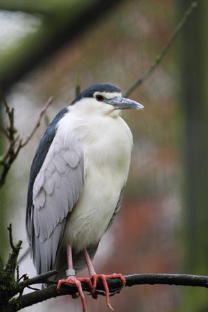 plummage: Black crowned night heron
