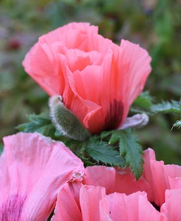 oriental poppy: Oriental poppy (Papaver orientale )