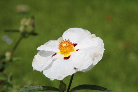 white cistus photo