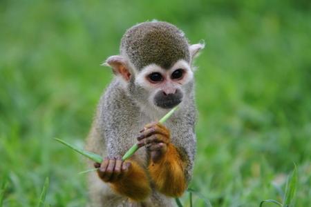 Spider monkey (Atles) Stock Photo