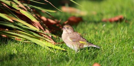 juvenile: Juvenile goldfinch