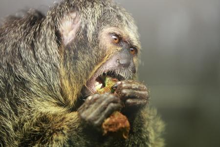 saki: White faced saki monkey Pithecia pithecia