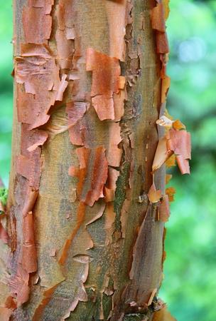 유칼립투스 나무 껍질