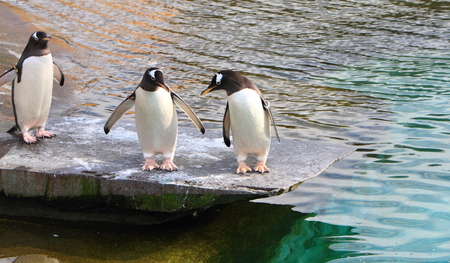 gentoo: Gentoo penguins