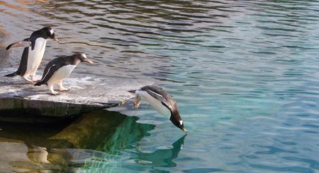 gentoo: Gentoo penguin
