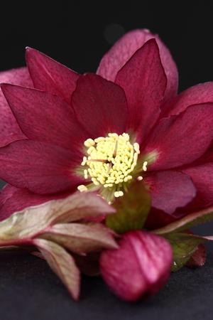 niger: Heleborus niger
