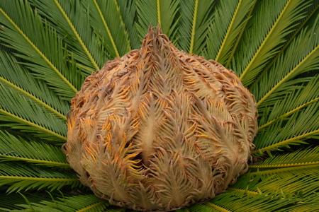 cycas: cycas plant