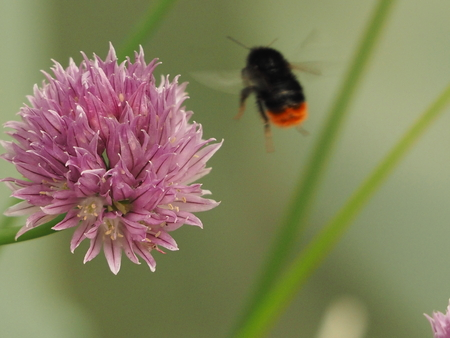 bee on flower: chive flower and bumble bee
