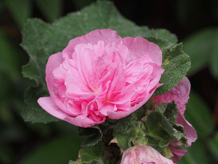Pink double hollyhock