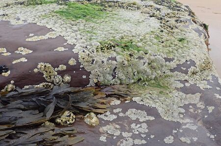 Rock covered in barnacles,mussels and seaweed in Scotland Stock fotó