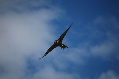 Bird of prey flying