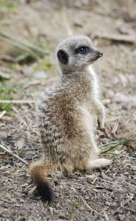 A watching meerkat