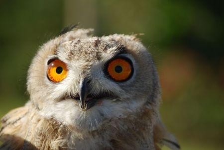 Big orange owl eys Stock Photo