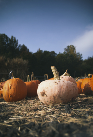 Halloween pumpkins on a farm during harvest - low angle
