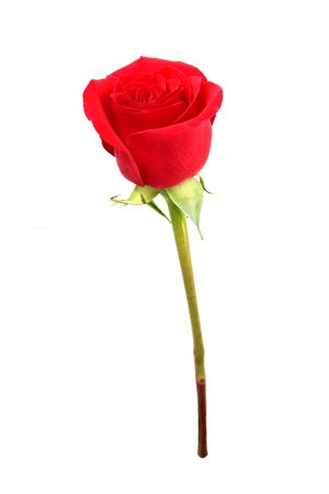 Red Beautiful Rose isolated on white background